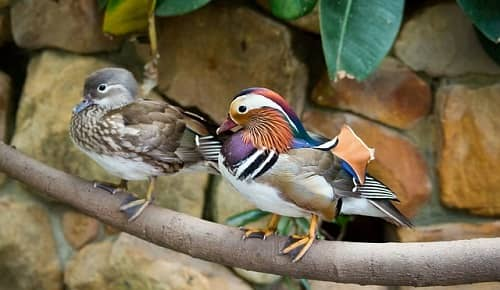 Placing Mandarin Ducks For Marriage And Romance Luck