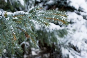 Why The Pine Tree Is A Symbol Of Unmatched Inner Strength